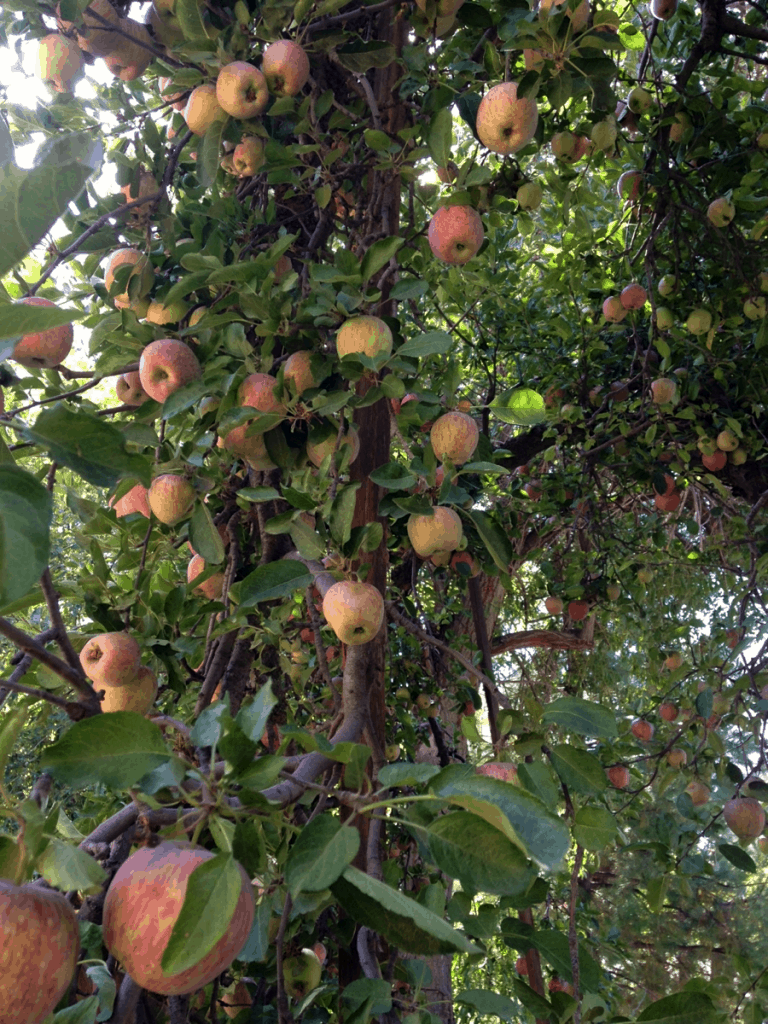 Apple tree at an apple orchard